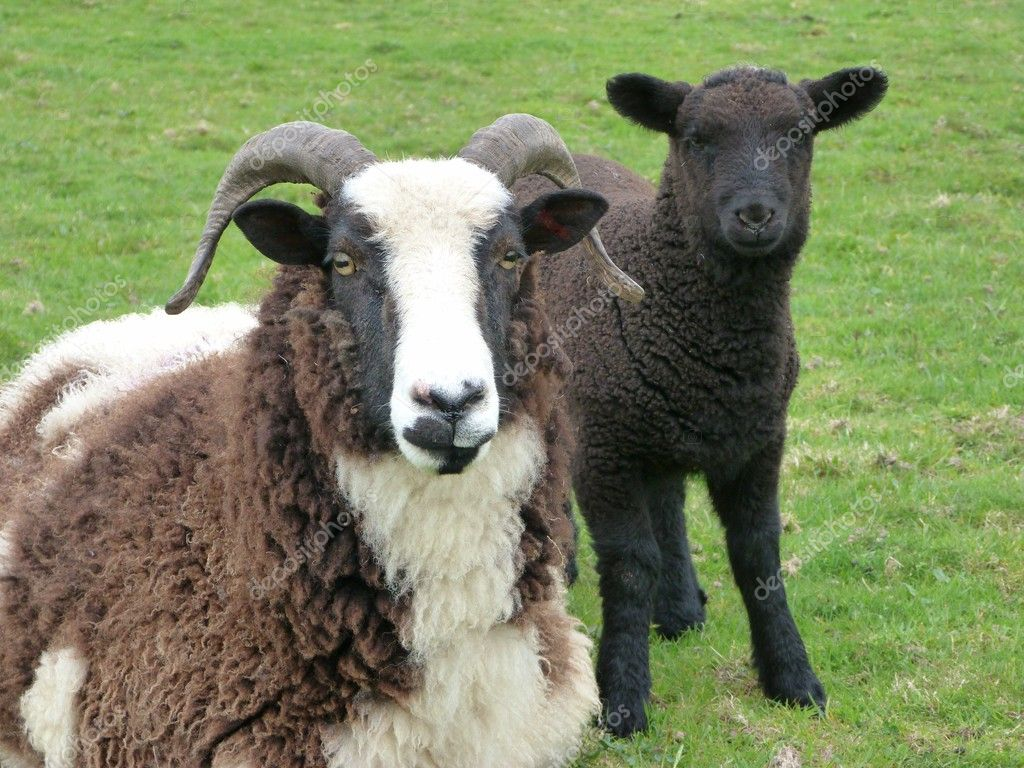 Jacob ewe with cross breed lamb  Stock Photo #10967377