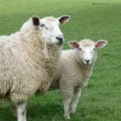 Stock Photo: Romney ewe with her lamb