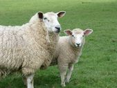 A Romney ewe with her lamb — Stock Photo