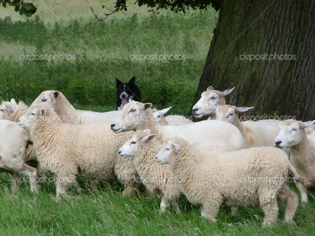 Sheep with dog in background — Stock Photo #11333788