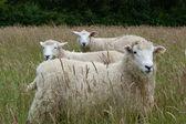 Three Lambs in a Meadow — Stock Photo