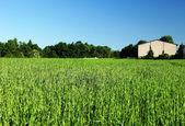 Gras zelené kukuřice — Stock fotografie
