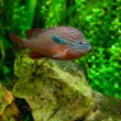 Stock Photo: AfricCichlid