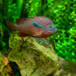 An African Cichlid — Stock Photo