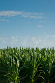 A Field of corn. — Stock Photo