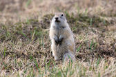 Malá veverka pozemní na hřišti — Stock fotografie