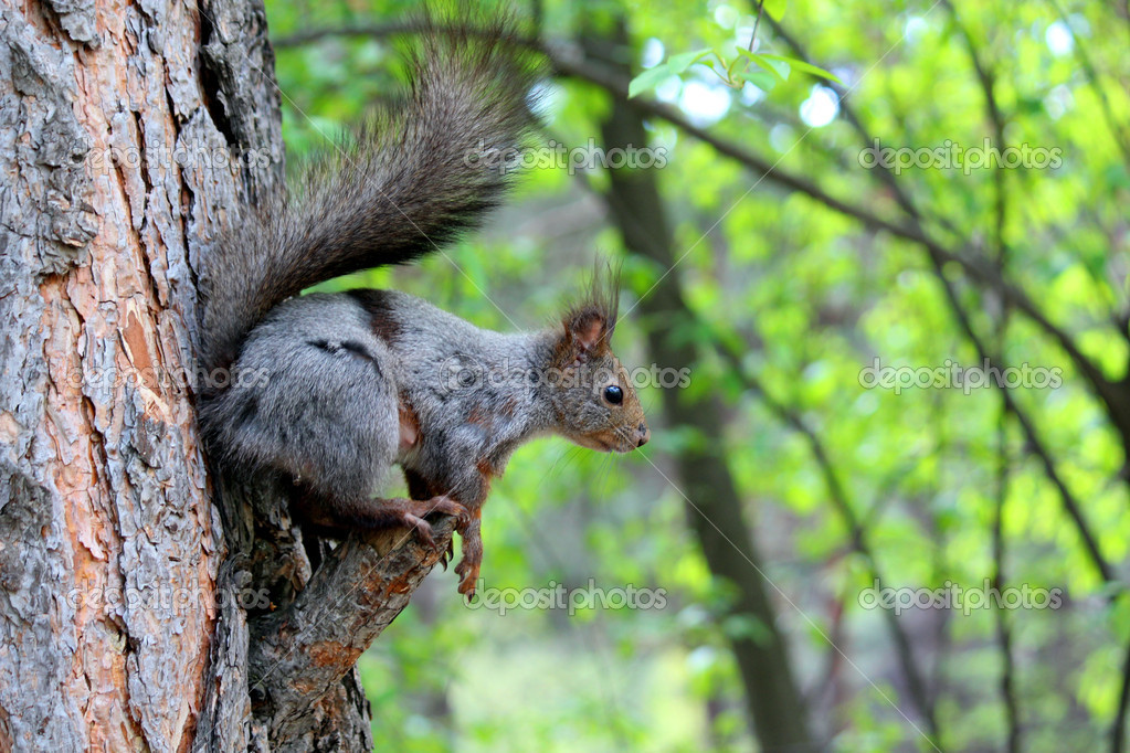 A wild little squirrel on the tree looking to something — Stock Photo #10939617