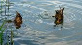 Synchronized swimming — Stock Photo