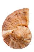 Seashell Rapana — Stock Photo