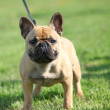 French Bulldog standing on the grass — Stock Photo #11051798