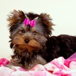 Yorkie puppy on light background — Stock Photo