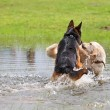 Two dogs playing in the water — Foto Stock