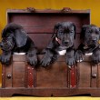 Three puppy dog in the box — Stock Photo