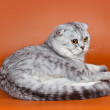 Scottish fold on orange background — Stock Photo