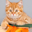 Red kitten on the book on grey background — Stock Photo