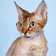 Devon rex head on blue background — Stock Photo