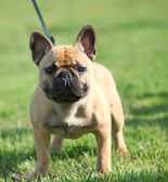 French Bulldog standing on the grass — Stock Photo