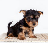Silky terrier on white background — Stock Photo