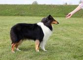 Mistress trains her dog — Stock Photo