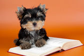 Puppy on the book on orange background — Stock Photo