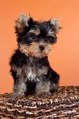 Puppy on a box on orange background — Stock Photo