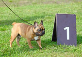 French Bulldog and number 1 — Stock Photo