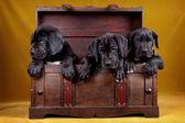 在框中的三个小狗 — 图库照片