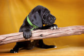 Puppy dog with a stick — Stock Photo