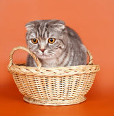 Cat in the basket on orange background — Stock Photo