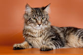 Maine coon on orange background — Stock Photo