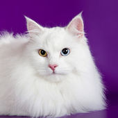 White cat on purple background — Stock Photo