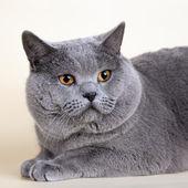 British cat head on yellow background — Stock Photo
