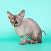 Sphynx on cyan background — Stock Photo