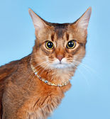 Abyssinian cat on blue background — Stock Photo