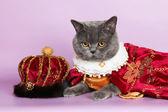 Cat king — Stock Photo