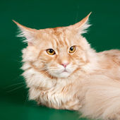 Maine coon head on green background — Stock Photo