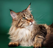 Maine coon on green background — Stock Photo