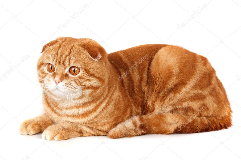 隔离白底红猫 — 图库照片08mdmmikle123#11051939