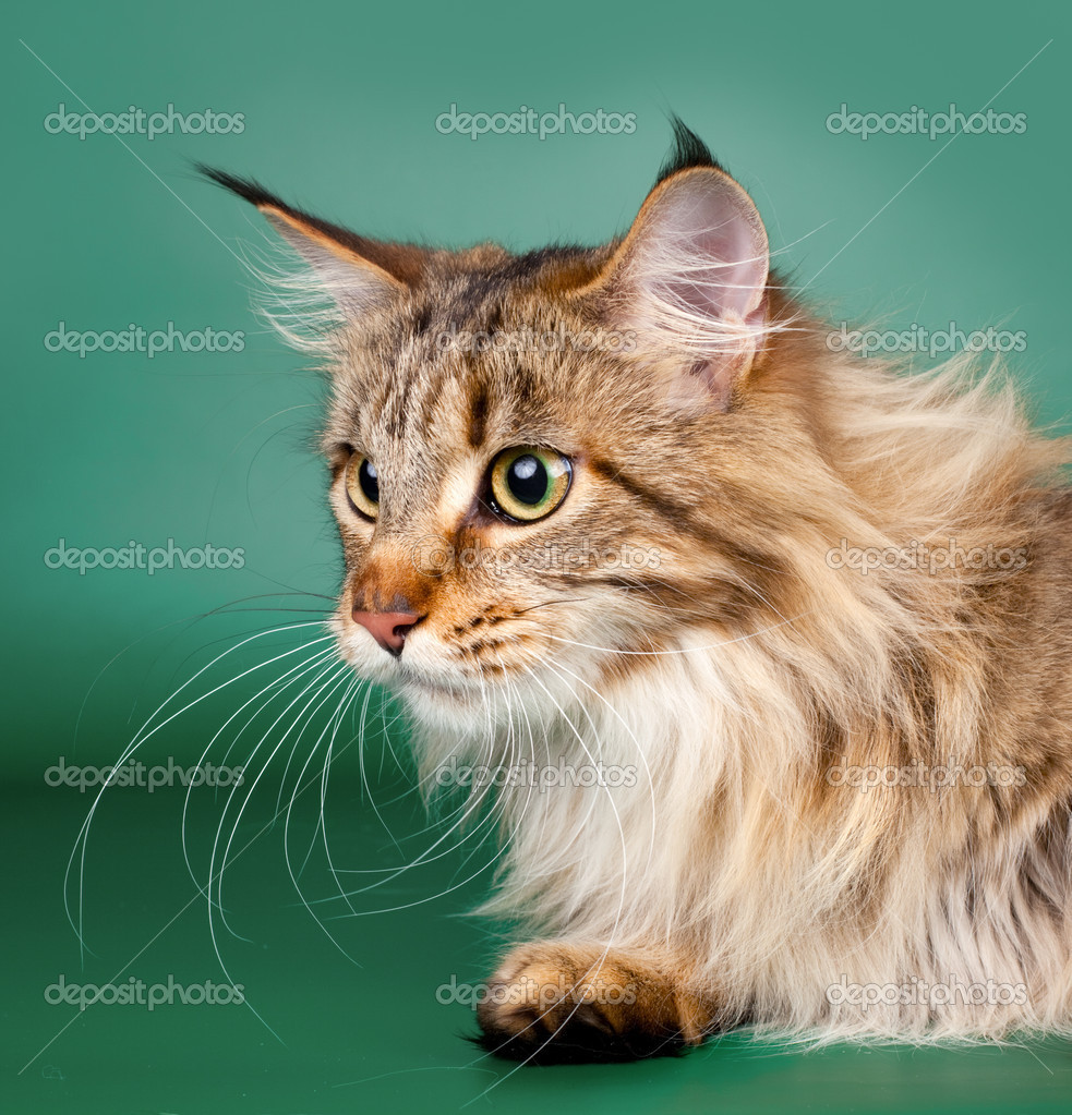 Maine coon head on green background — Stock Photo #11052892