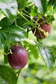 Passion fruit — Stock Photo