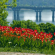 Tulips on the background of the river - Stock Photo