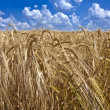 Field of ripe barley to the horizon — Stock Photo