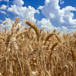 Stock Photo: Field of ripe wheat against blue sky