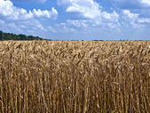 Field of ripe wheat to the horizon — 图库照片