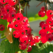 Ripe red currant - Foto Stock