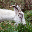 Goat nibbling grass — Stock Photo