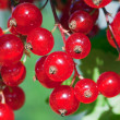 Stock Photo: Ripe red currant