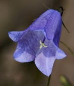 Bellflower (Campanula) flower — Stock Photo