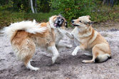 Dogs fighting — Stock Photo