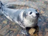 Harp seal (Pagophilus groenlandicus) — Stock Photo